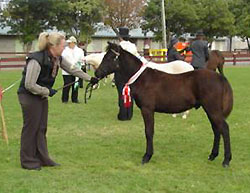 Shannon Boykett of the Ty Gwyn Stud with winning partbred welsh foal Ty Gwyn Marquis.